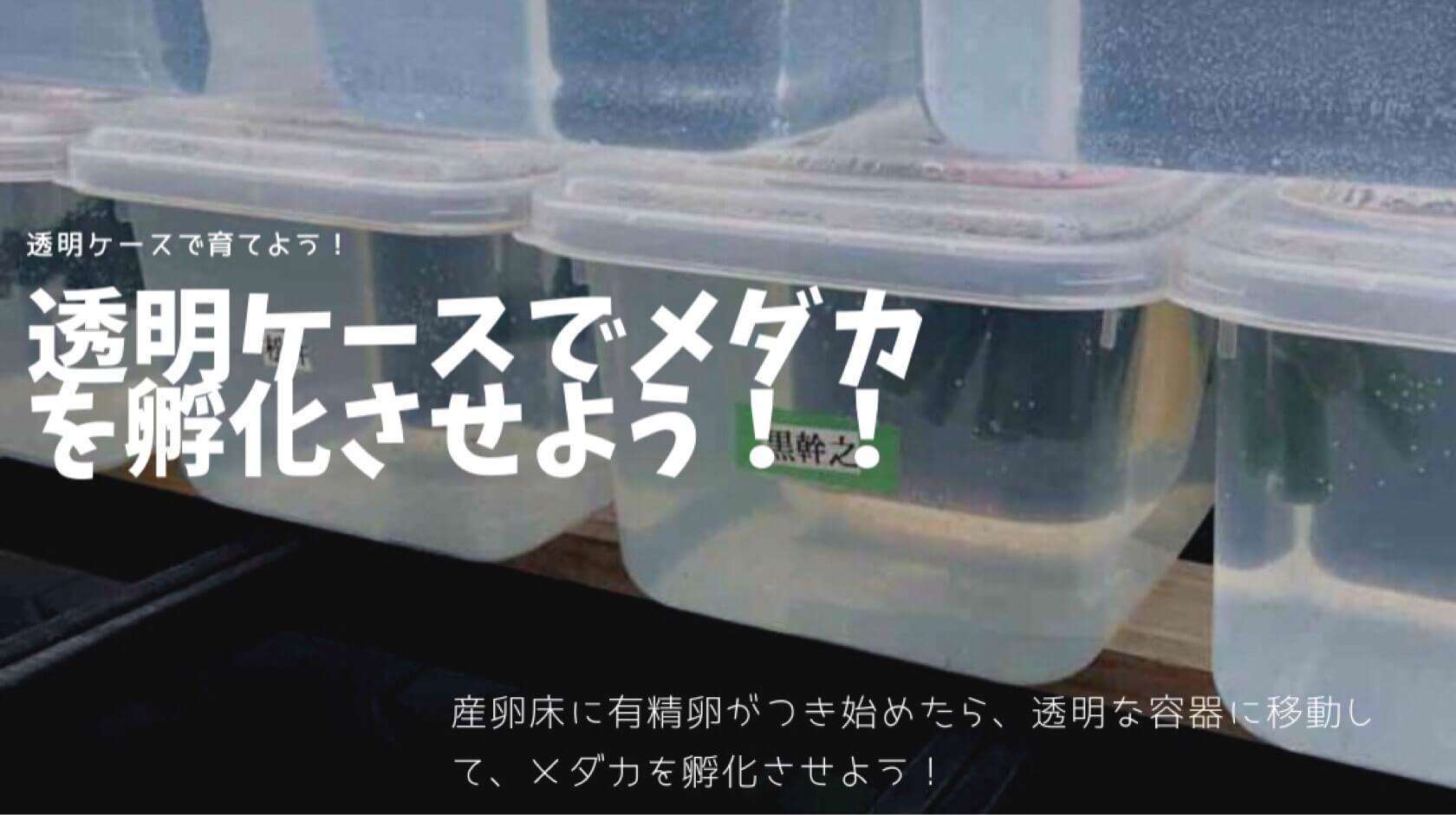 孵化したメダカを透明ケースで管理する