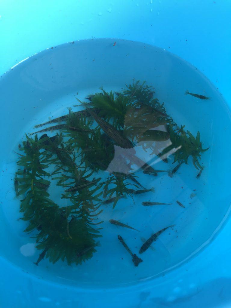 ガサガサで捕獲した魚