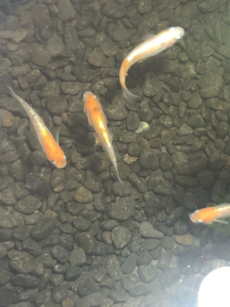 2019年春の鑑賞メダカ展示会の三色ラメ幹之メダカ体外光