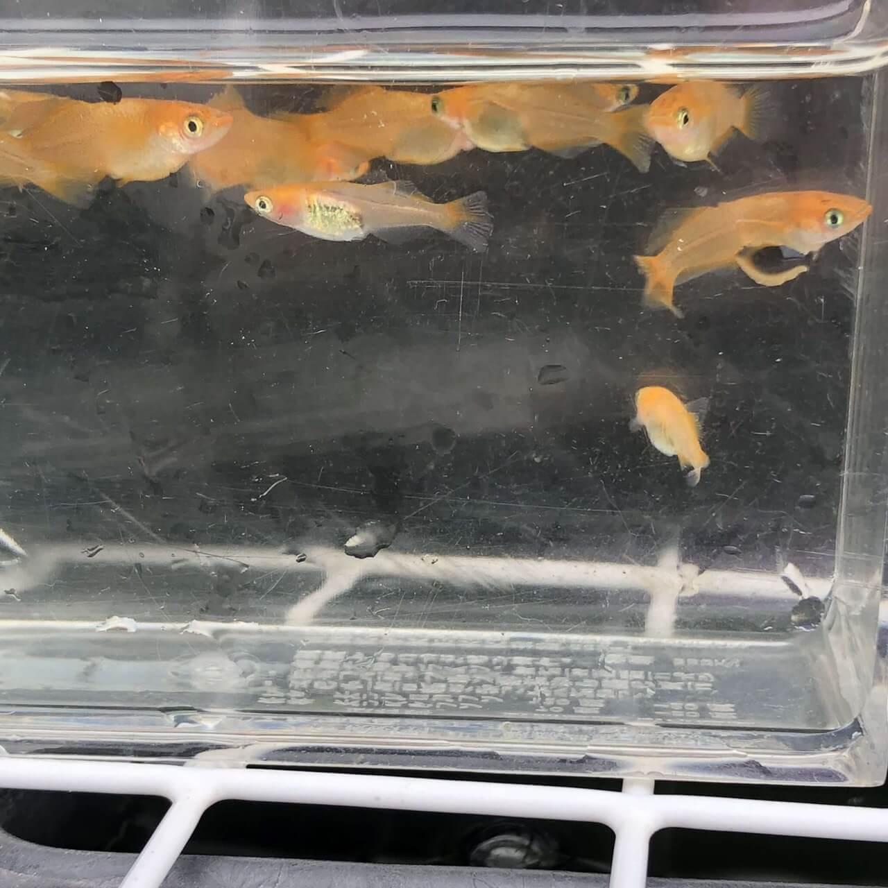 紅薊メダカヒカリ体型(2019年春産まれ)