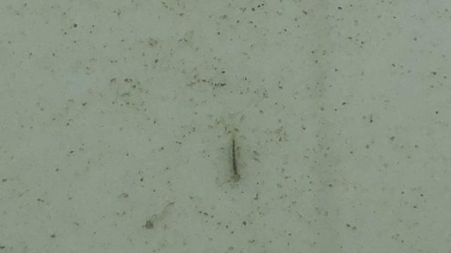 ヤゴの幼虫