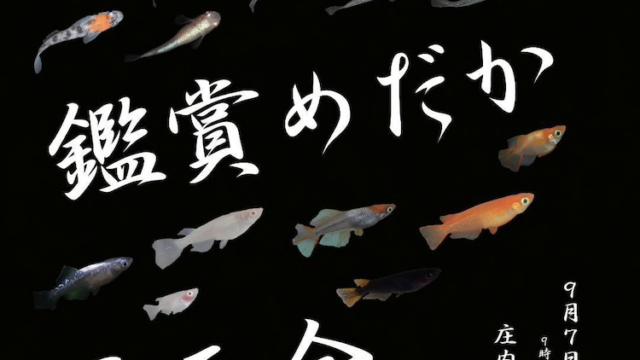2019年秋の鑑賞めだか展示会