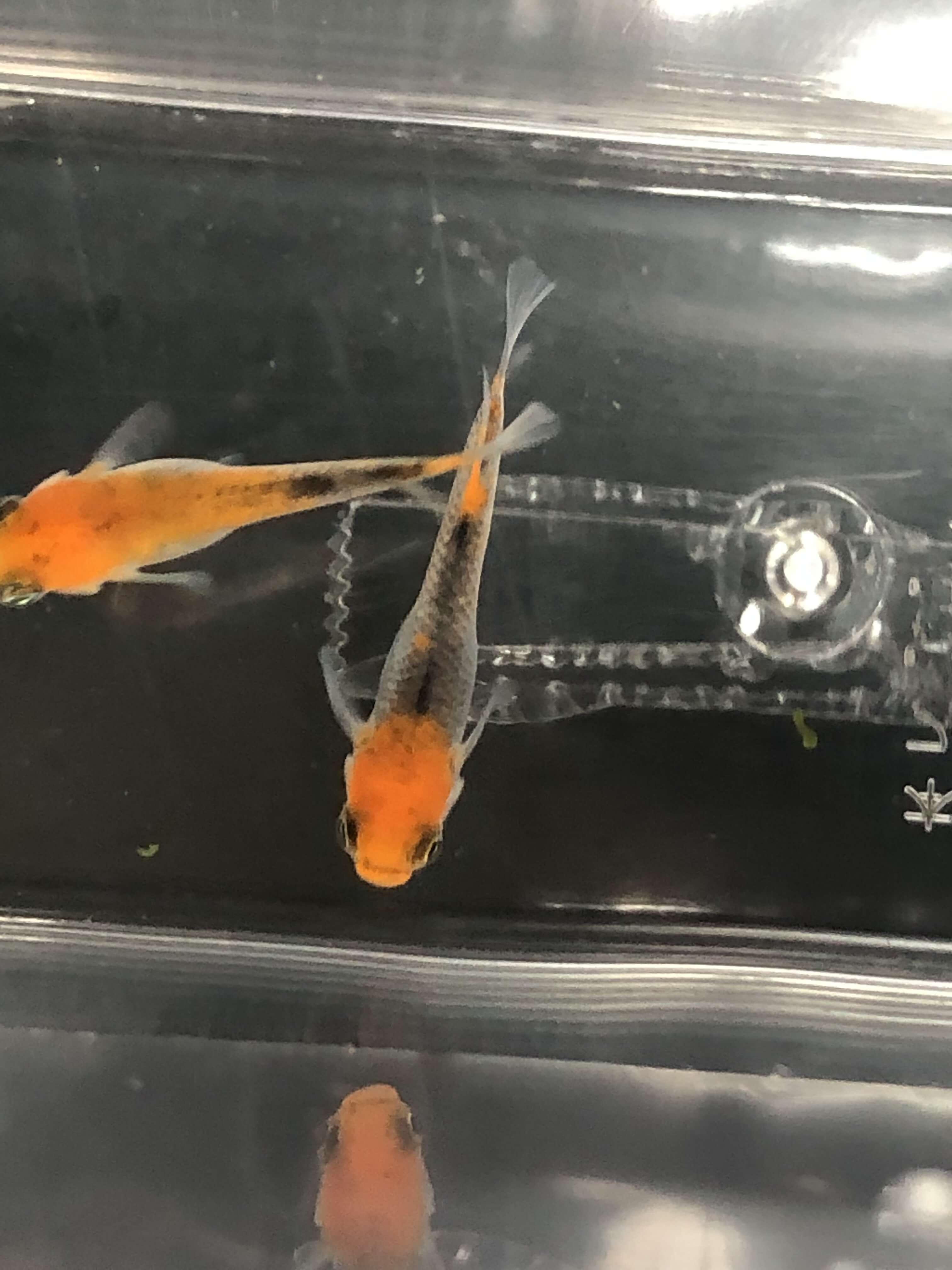紅薊メダカ(2019年春産まれ)