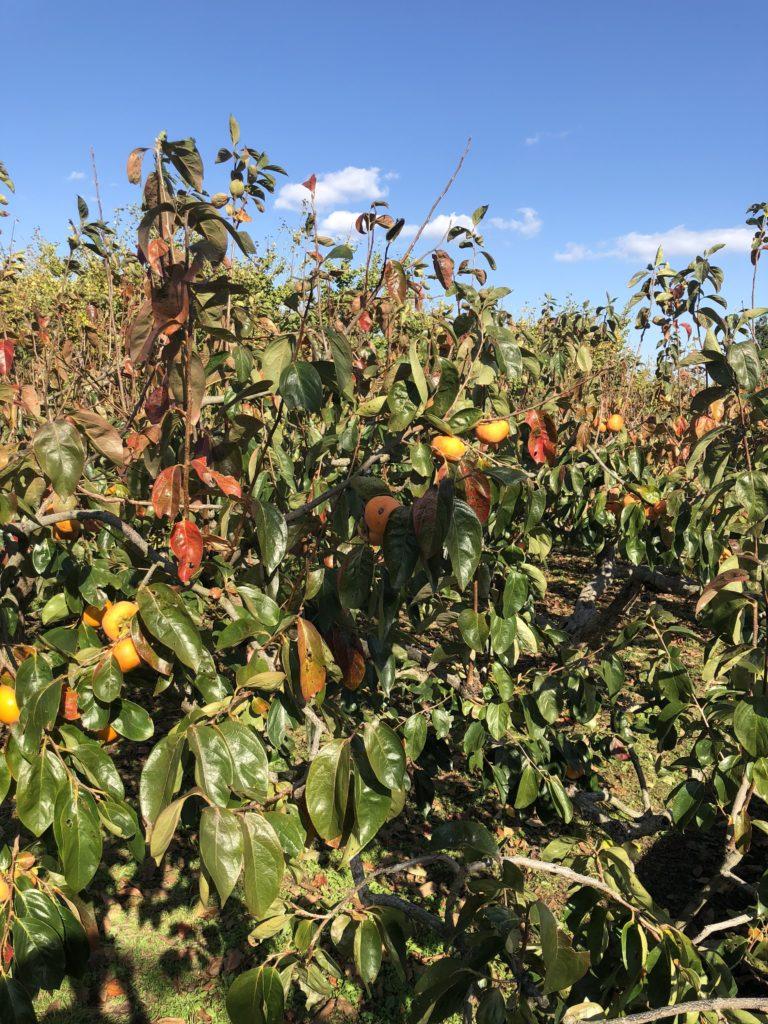 メダカの冬越しと柿の葉