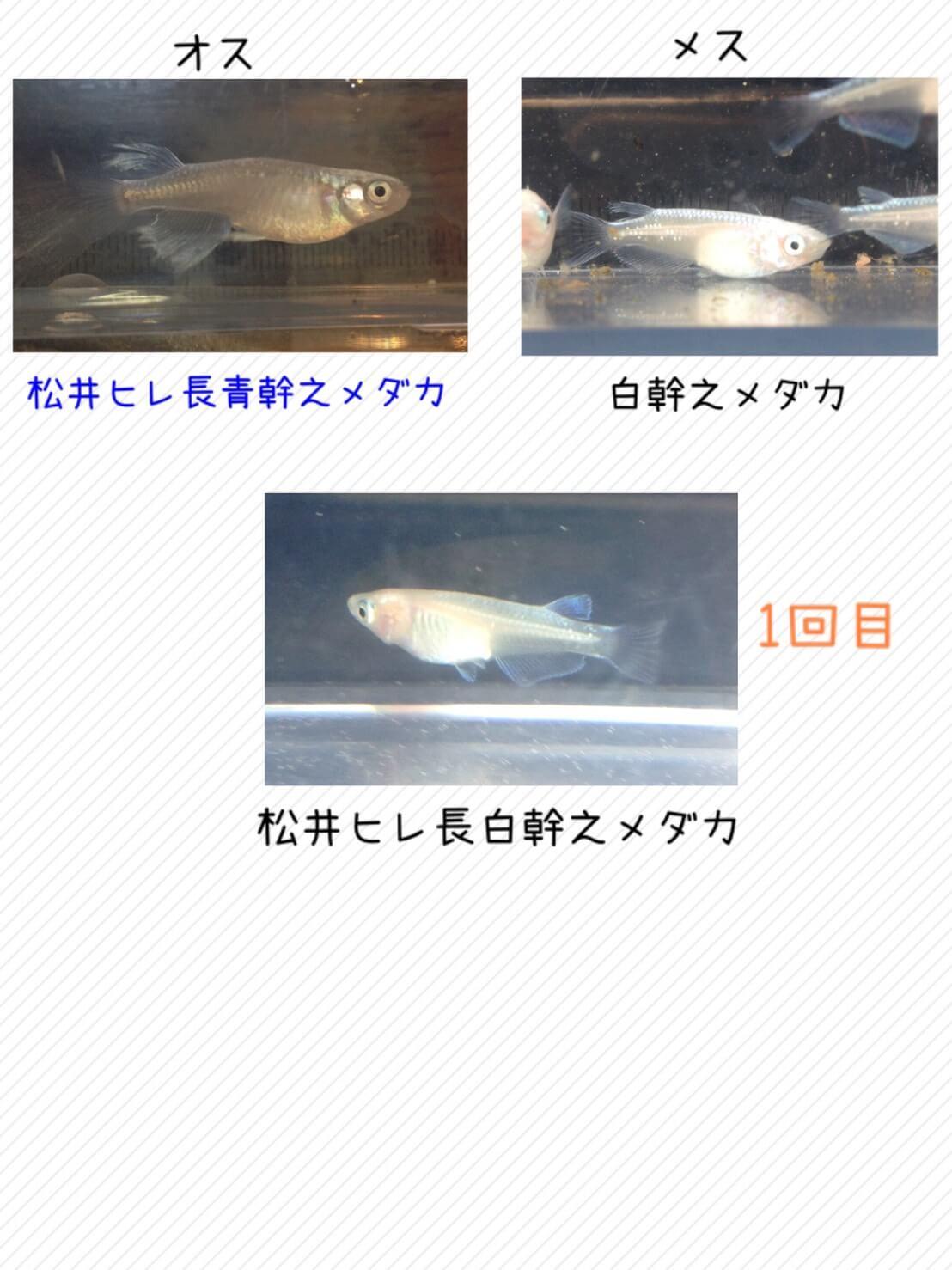 松井ヒレ長白幹之メダカの交配図