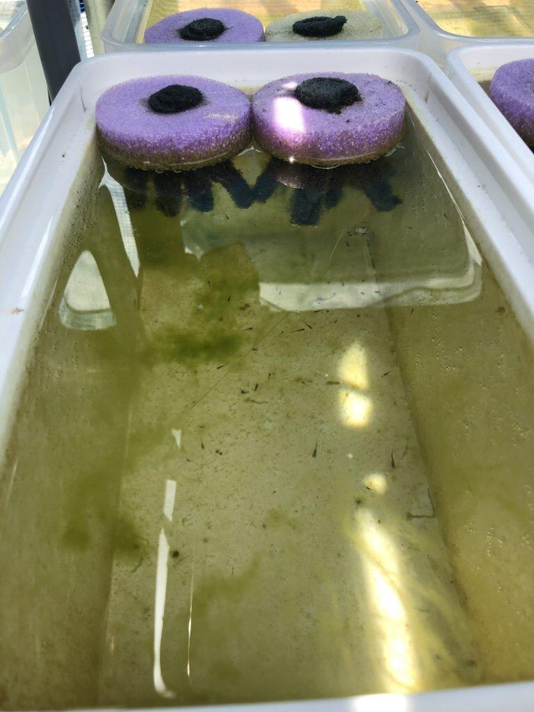 光合成細菌を与えたメダカ飼育容器