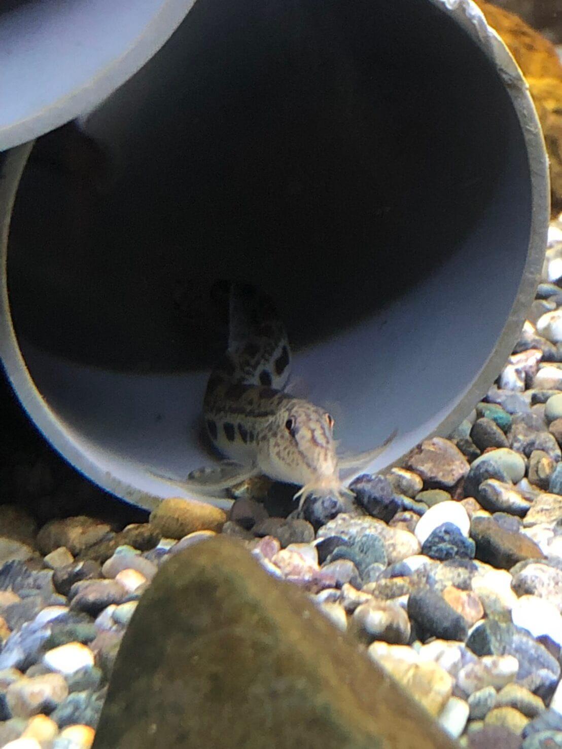 巨大水槽で泳ぐドジョウ