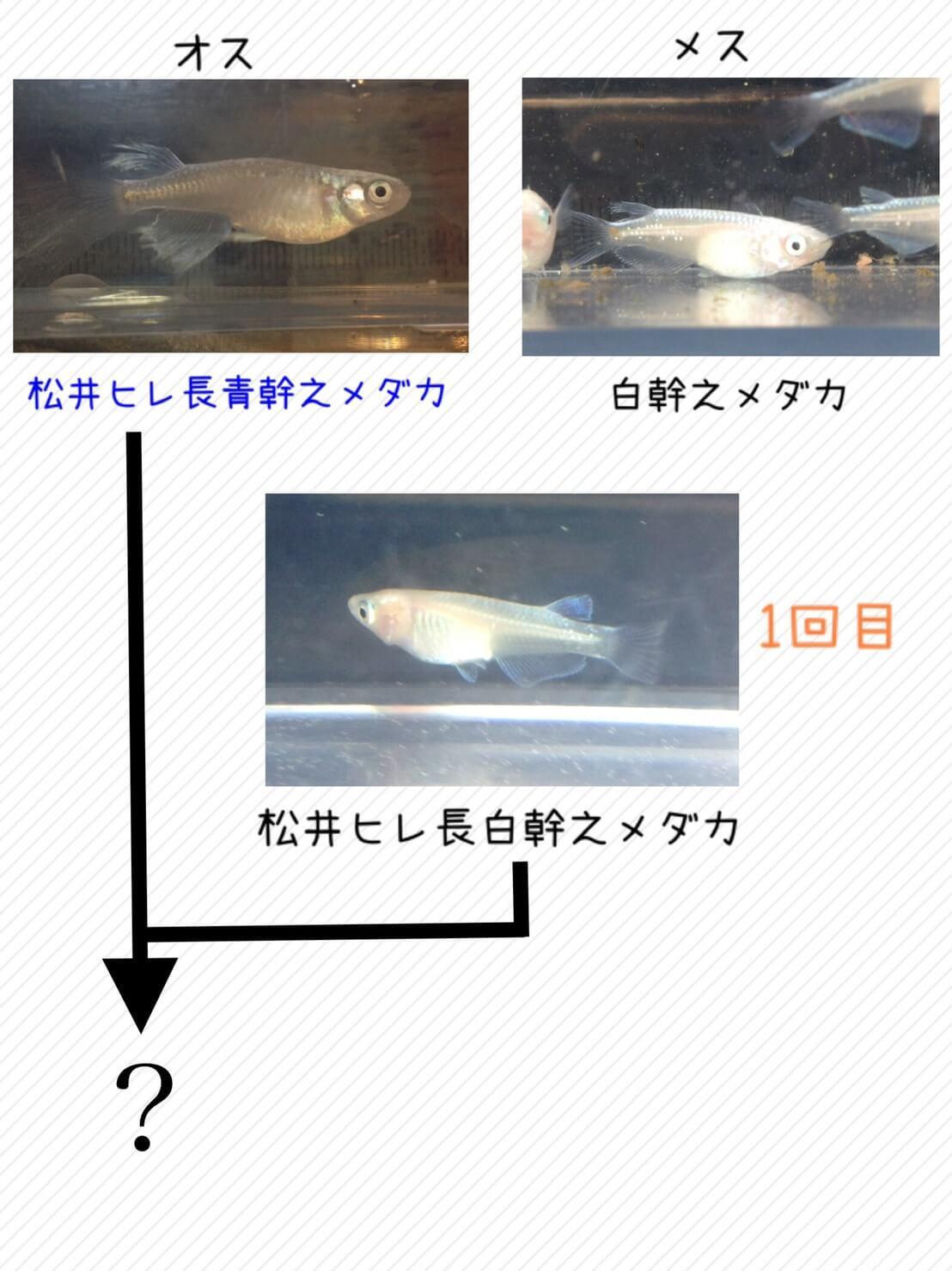 松井ヒレ長白幹之メダカ