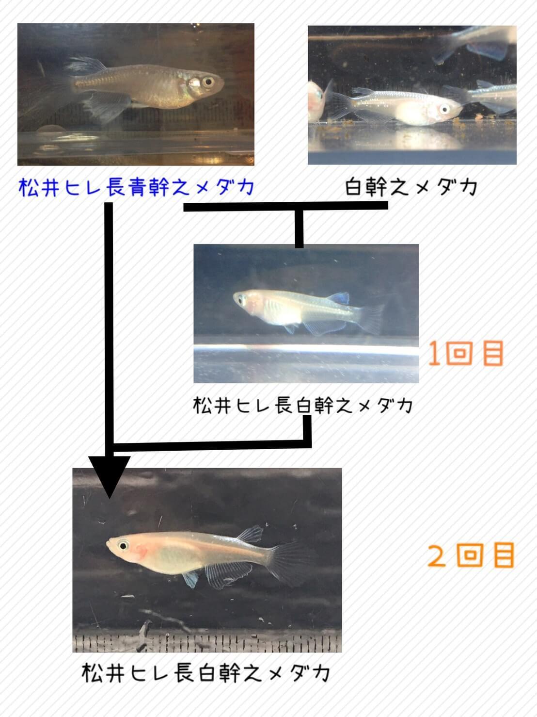 松井ヒレ長白幹之メダカ(f2)