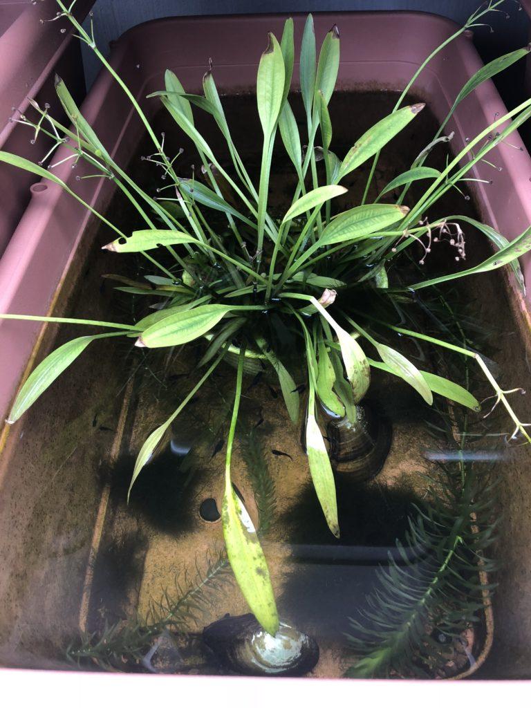 メダカの冬越しとメダカの飼育容器と水草
