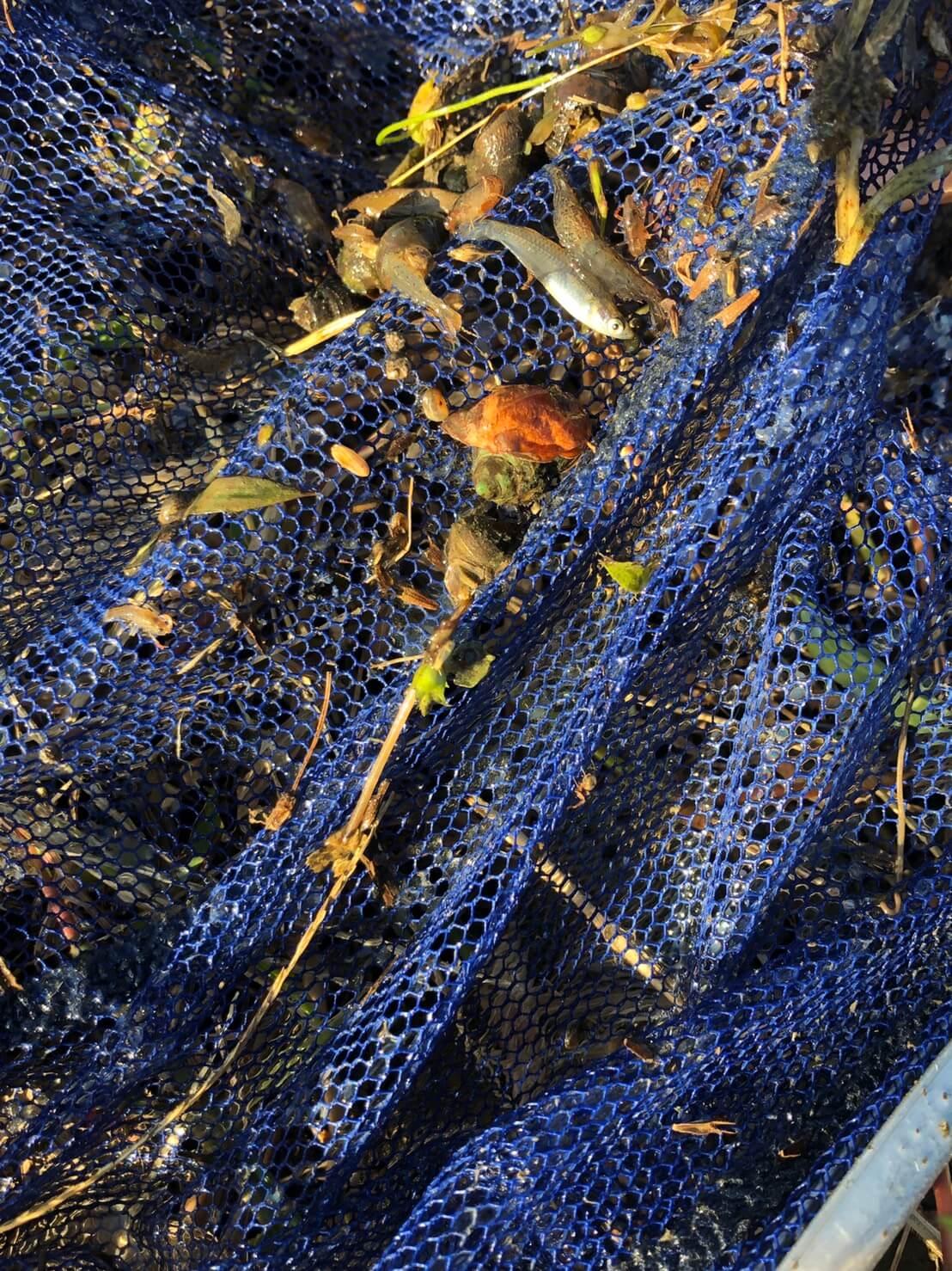 川でのガサガサ活動で捕まえた魚
