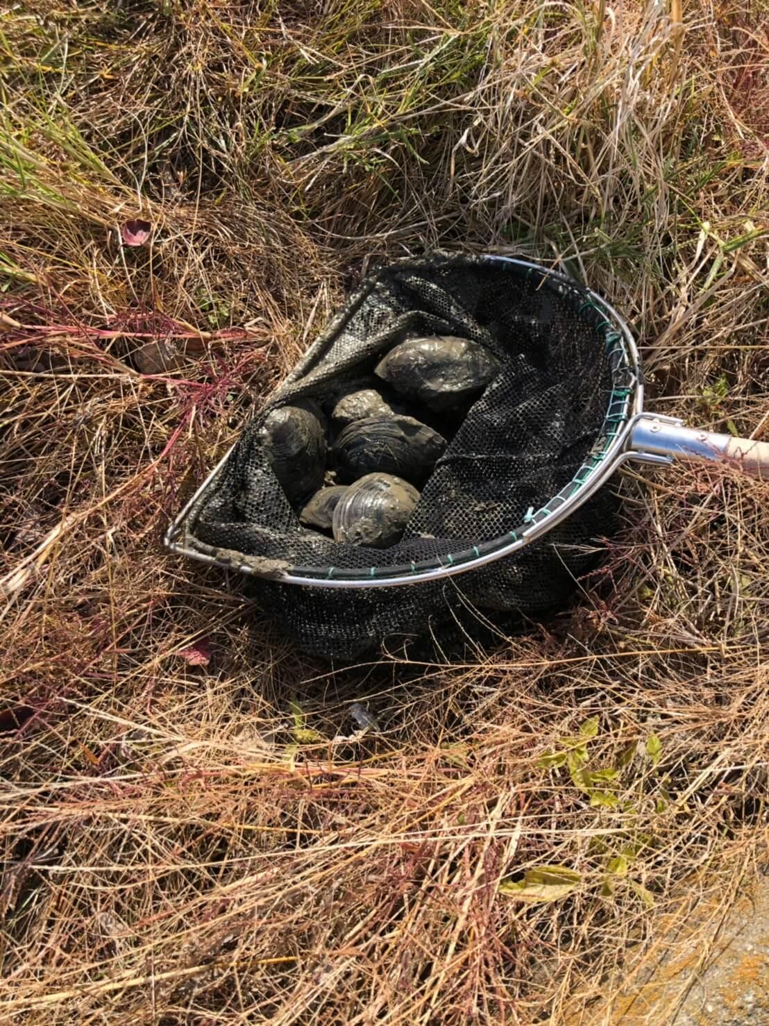 ガサガサでドブ貝を捕まえる