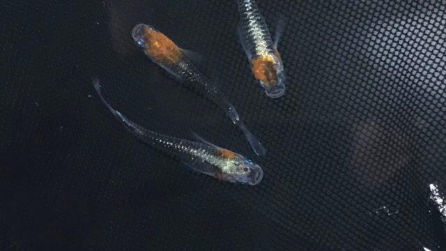 黒ラメ黄色幹之体外光タイプ(2019年夏産まれ)