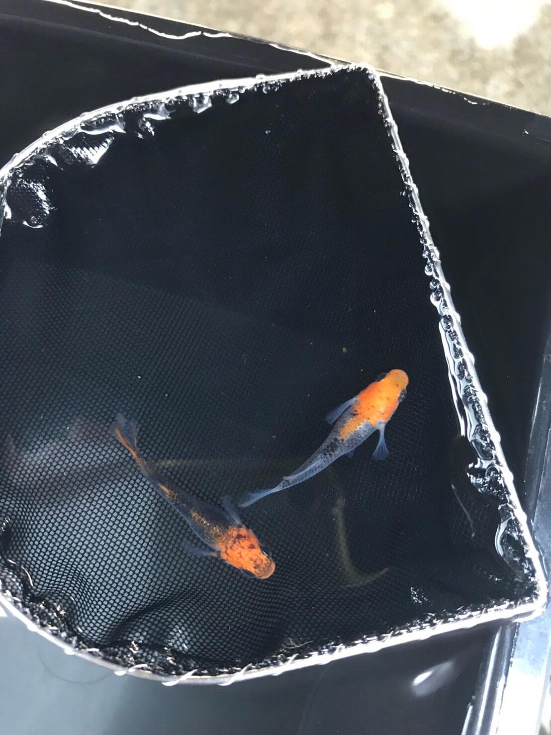 紅薊メダカヒカリ体型(2019年夏産)