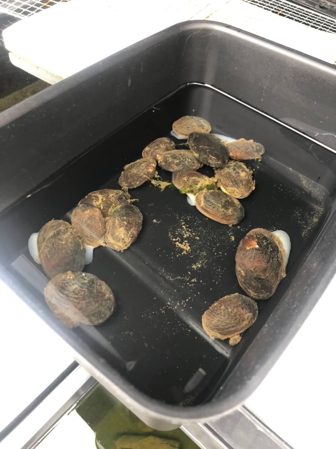 川でのガサガサ活動で捕獲したマツカサ貝