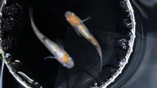 ルートワンメダカで販売されていた黄桜三色体外光メダカ(2020年種親)