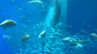 沖縄旅行のジンベエザメや沖縄名物