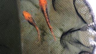 紅薊メダカヒカリ体型(2020年春撮影)
