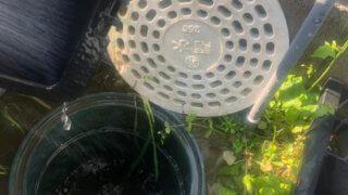 雨水桝とメダカ容器の掃除