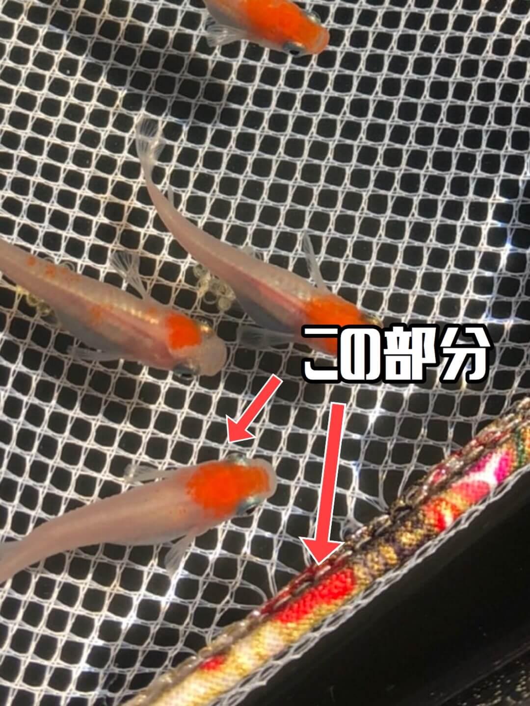 雲州紅白メダカ(2020年春撮影)
