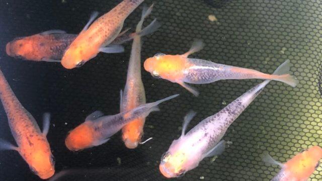 紅薊メダカの選別モレ(2020年春)