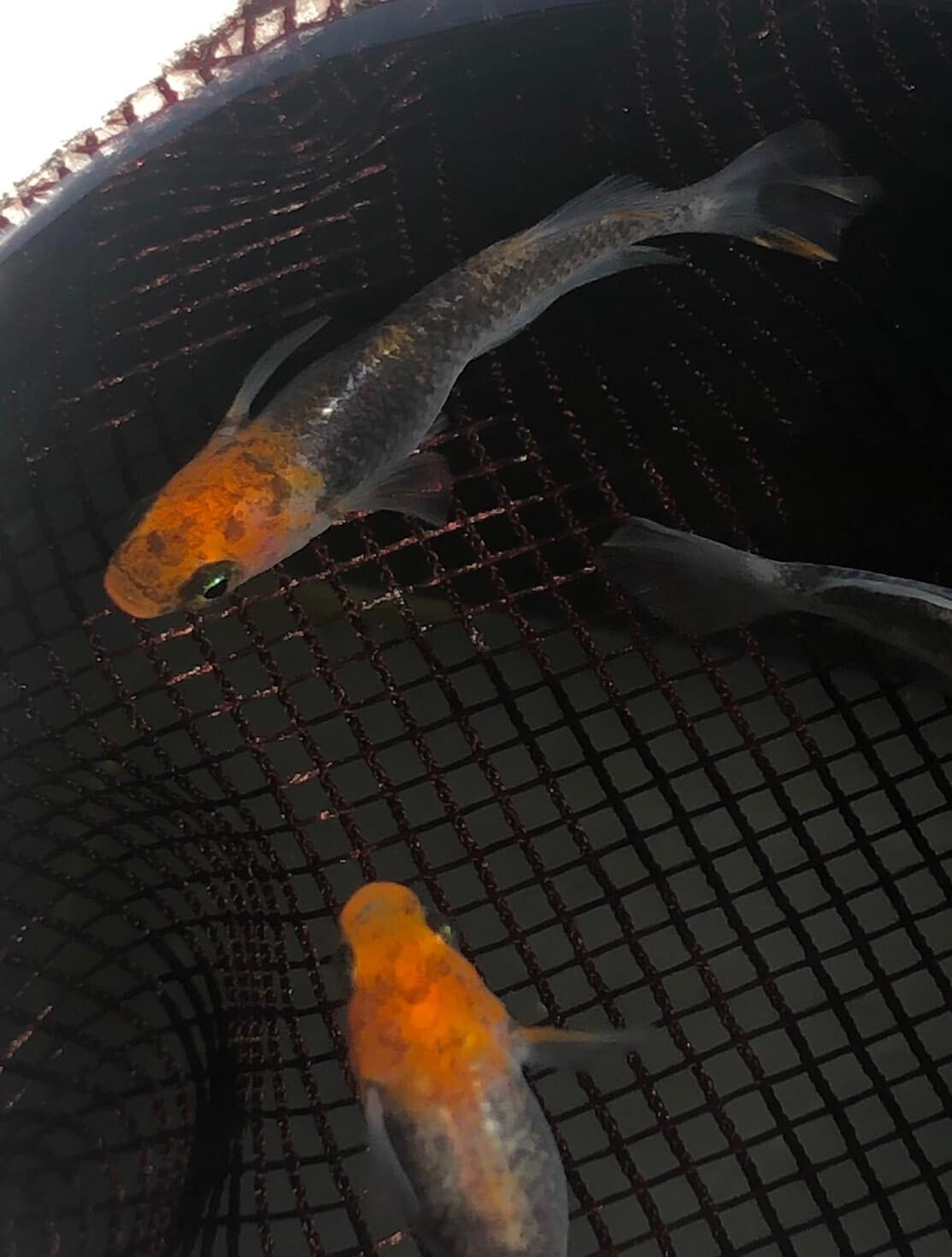 紅薊メダカヒカリ体型の種親(2019年5月)