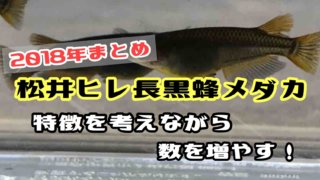 松井ヒレ長黒蜂メダカ(208年まとめ)アイキャッチ