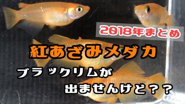 紅薊メダカ(2018年まとめ)アイキャッチ