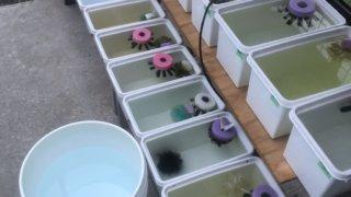 メダカの採卵と飼育容器と産卵床