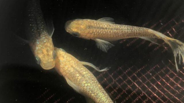 クリアブラウンラメ幹之メダカスワロー体型のヒスイ色(2020年春撮影種親)