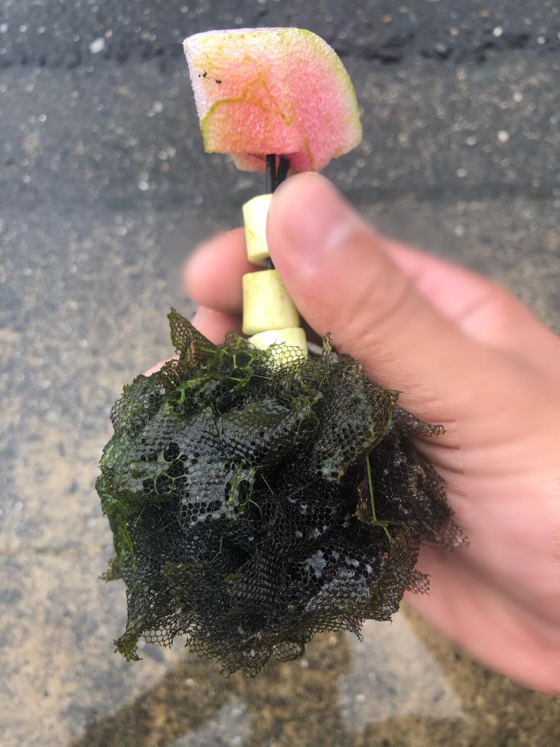 メダカの産卵床を洗う