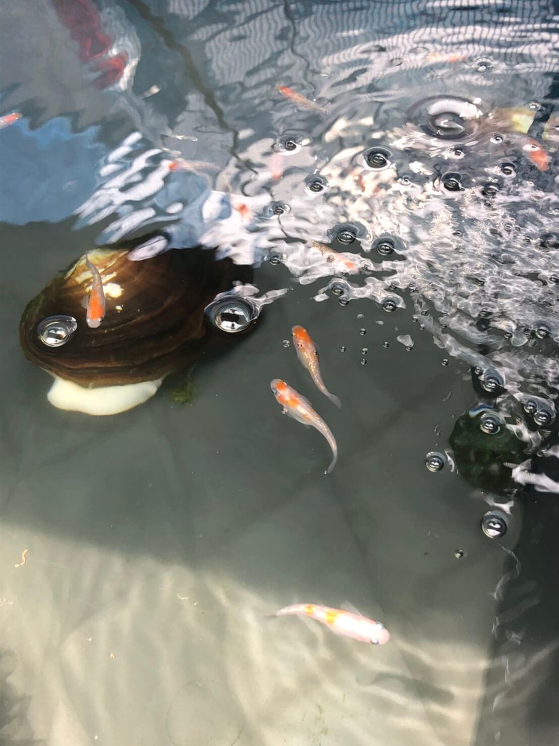 紅白ラメ幹之メダカ(2020年春産まれ)
