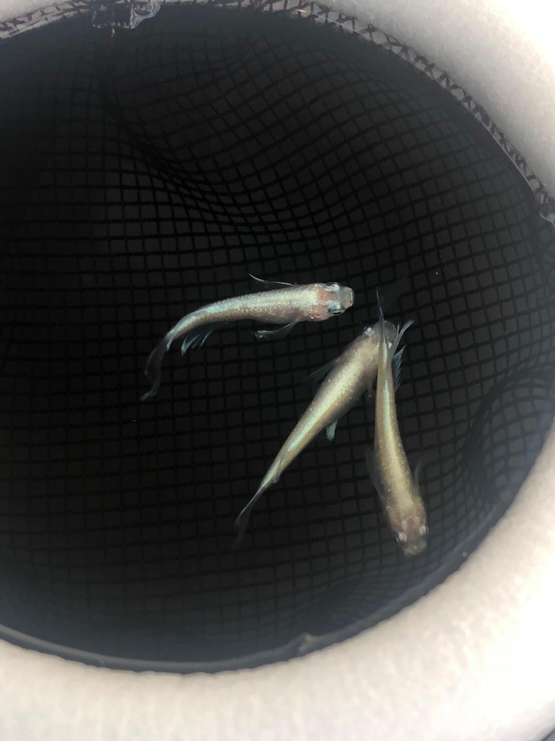 ハギタヒレ長白ラメ幹之メダカ(2020年7月新しいタイプのヒレ長メダカの種親として加入)