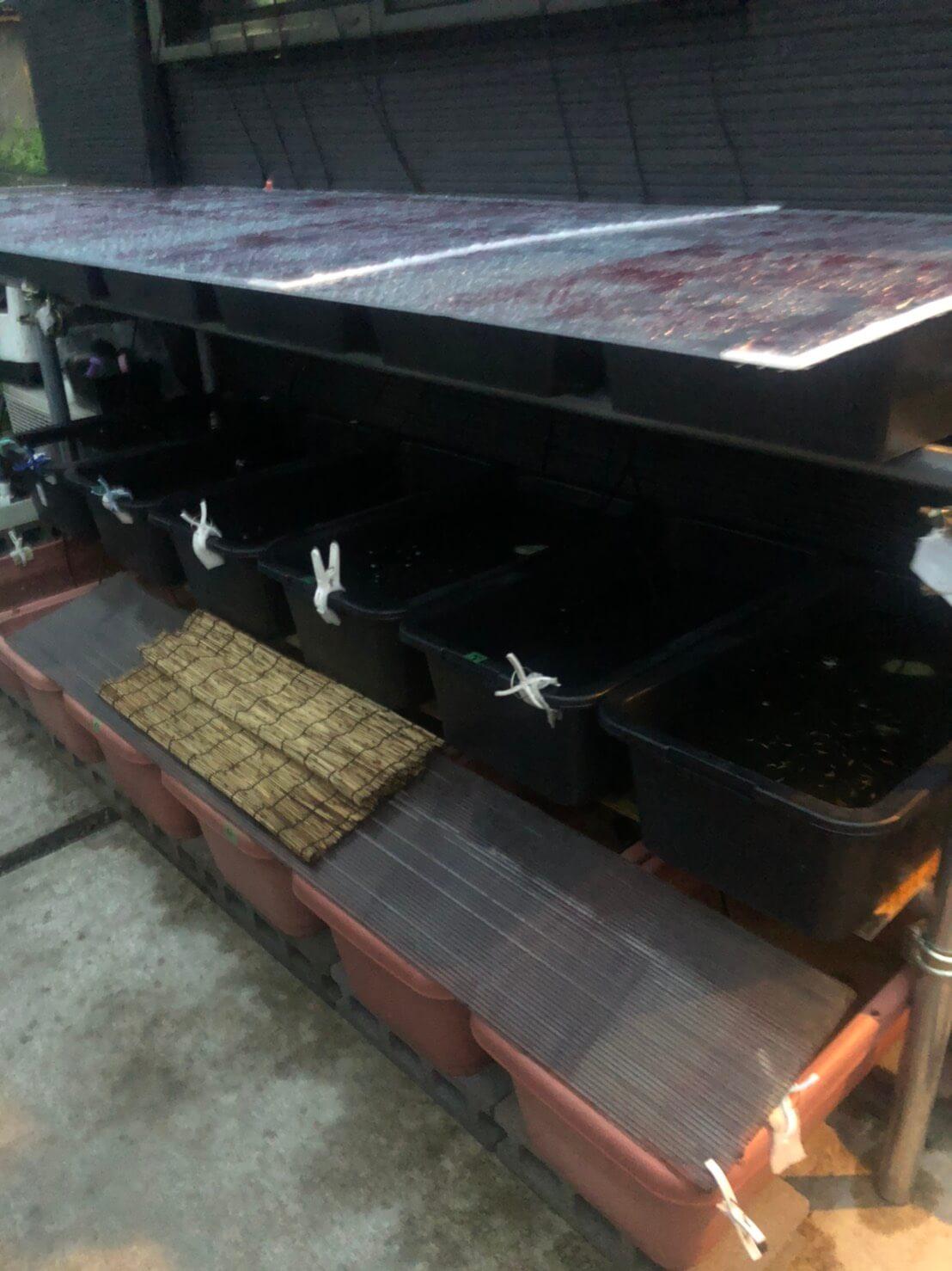 雨降りの日のメダカ飼育容器の養生