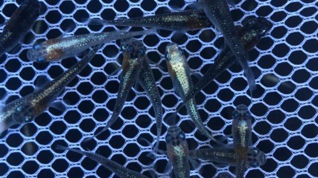 黒ラメ黄幹之体外光メダカ(2020年9月販売用)