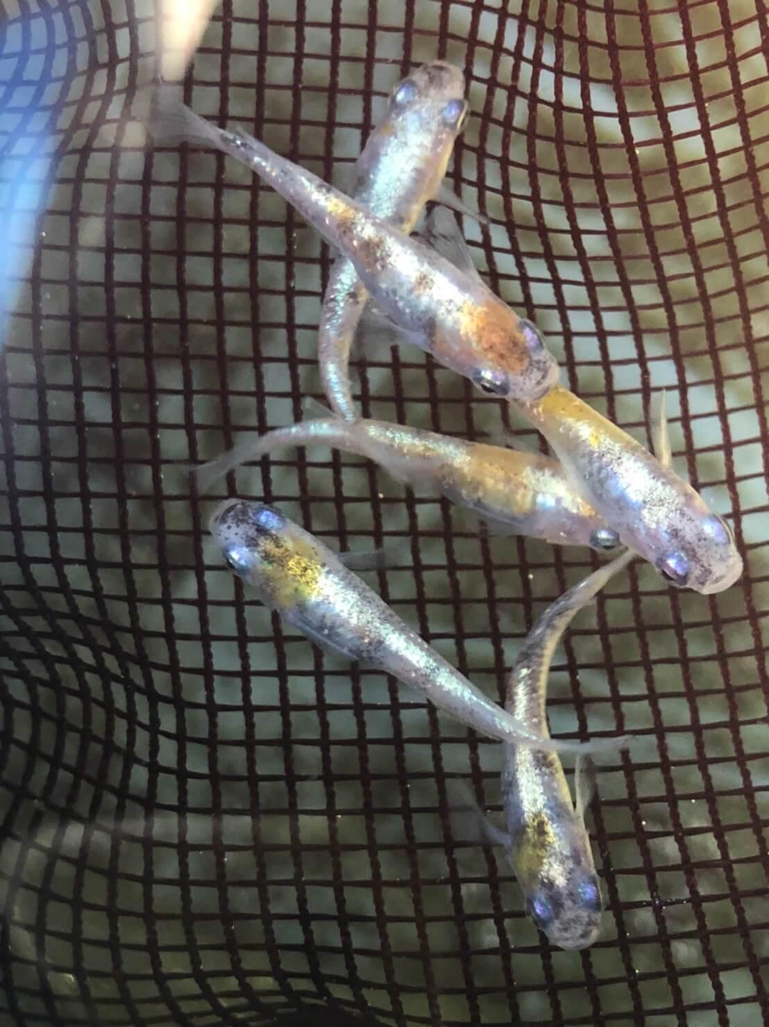 黄桜体外光メダカの三色模様は、「もっと黄色く」したい