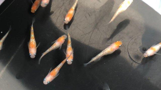 紅白ラメ幹之メダカ(2020年春夏産まれ)
