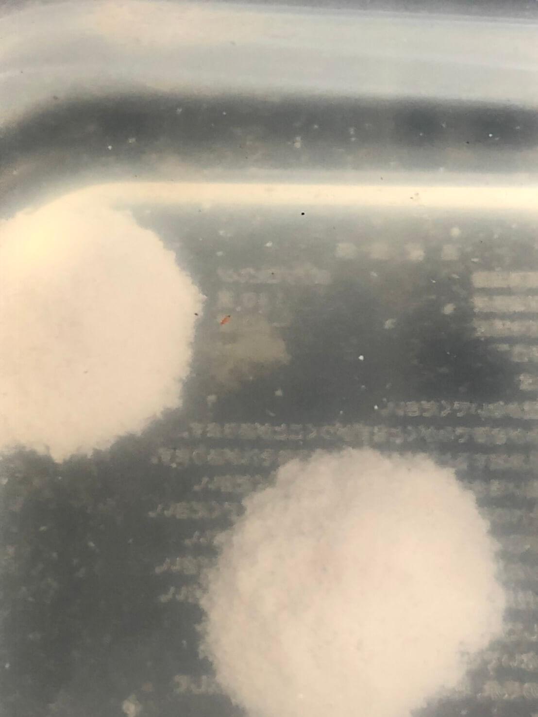 ミジンコを増やす培養実験(2日目31時間後)
