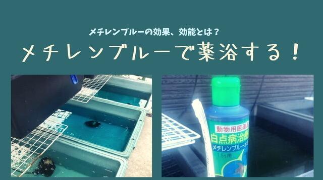 メチレンブルー水溶液でメダカを薬浴する効果