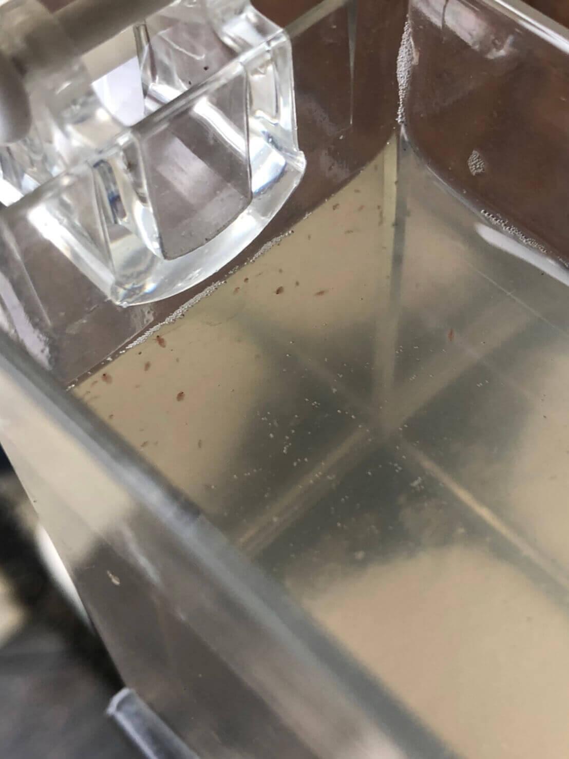 クロレラとエビオス錠を使ったミジンコ培養実験(2020年9月)1日目12時間経過