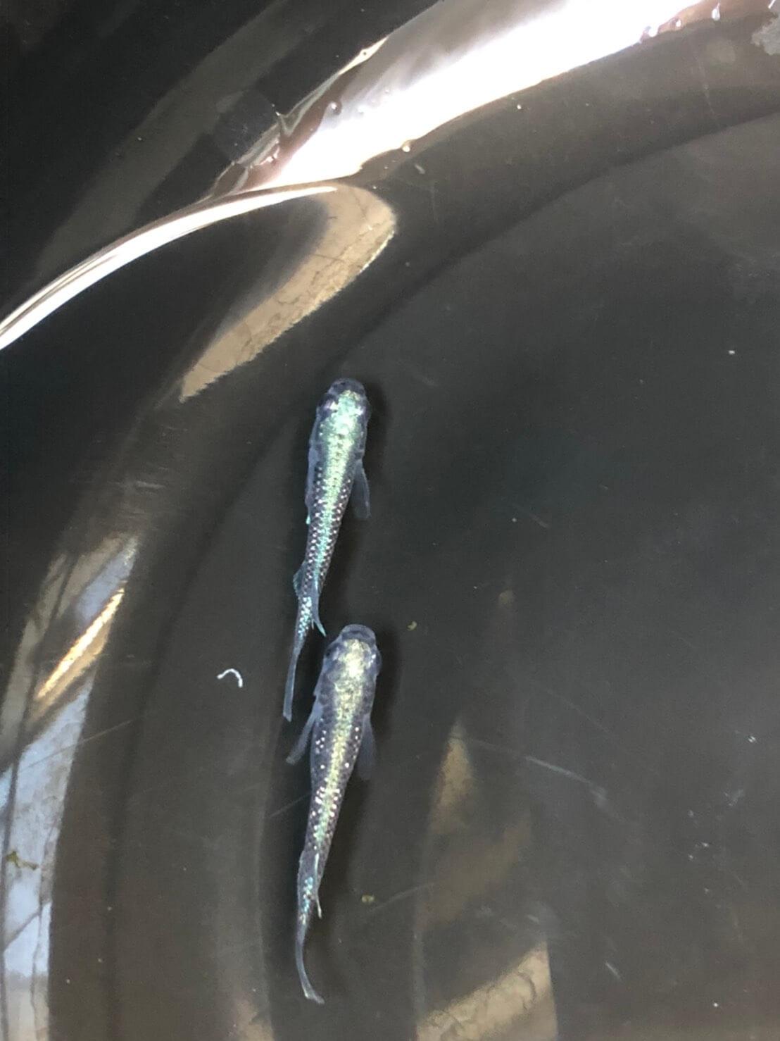 フルボディ光の黒飯極メダカ