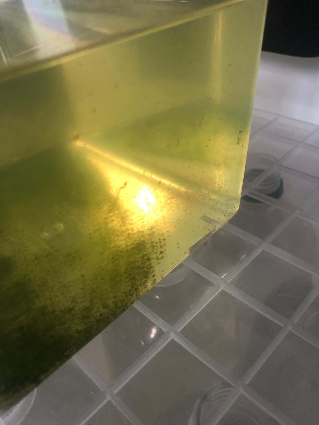 生クロレラを使ったミジンコの増やし方虫かご編(2020年10月10日)