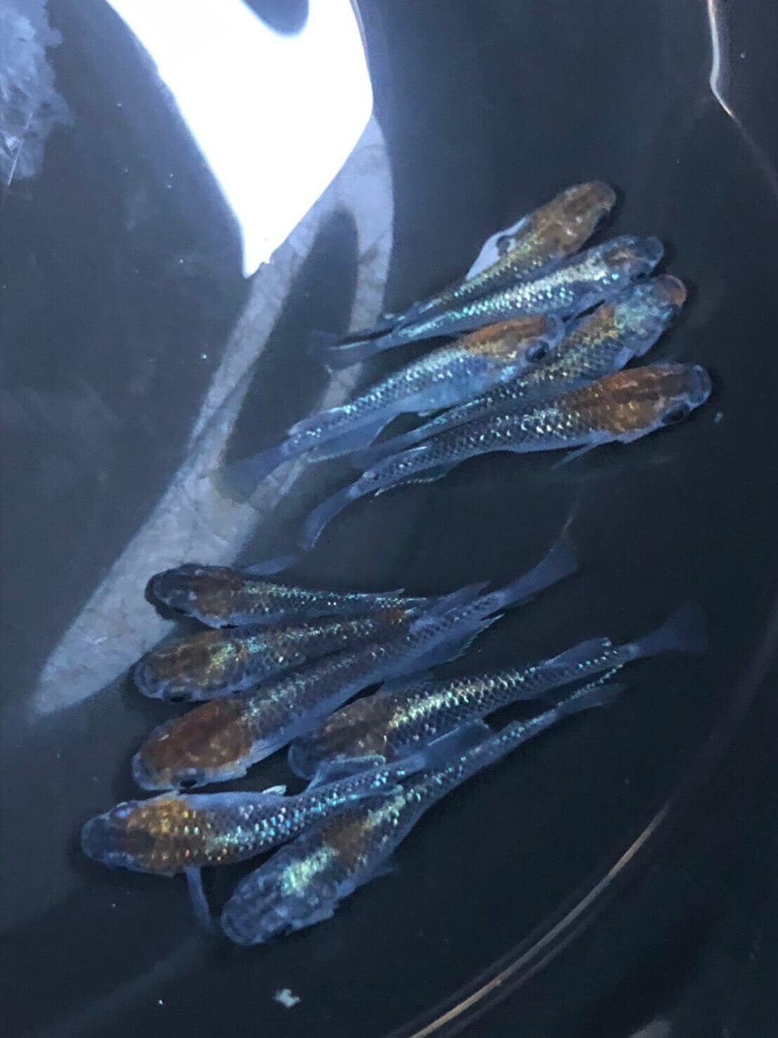 オーロラ黄ラメ体外光メダカ(2020年産まれ)