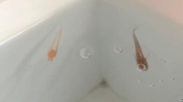 加温飼育中のブロンズアルビノタイプ