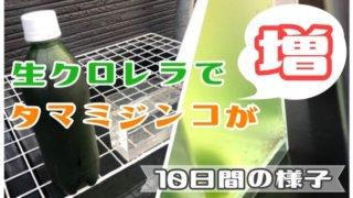 ミジンコの培養のアイキャッチ