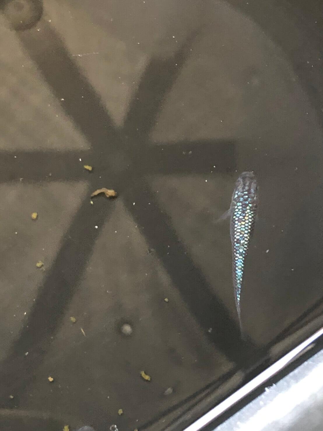 メダカ販売店のメダカの箱庭さんのオーロラブラックラメ