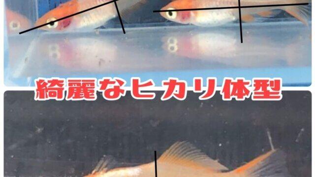 楊貴妃透明鱗ヒカリ体型メダカ(篤姫)