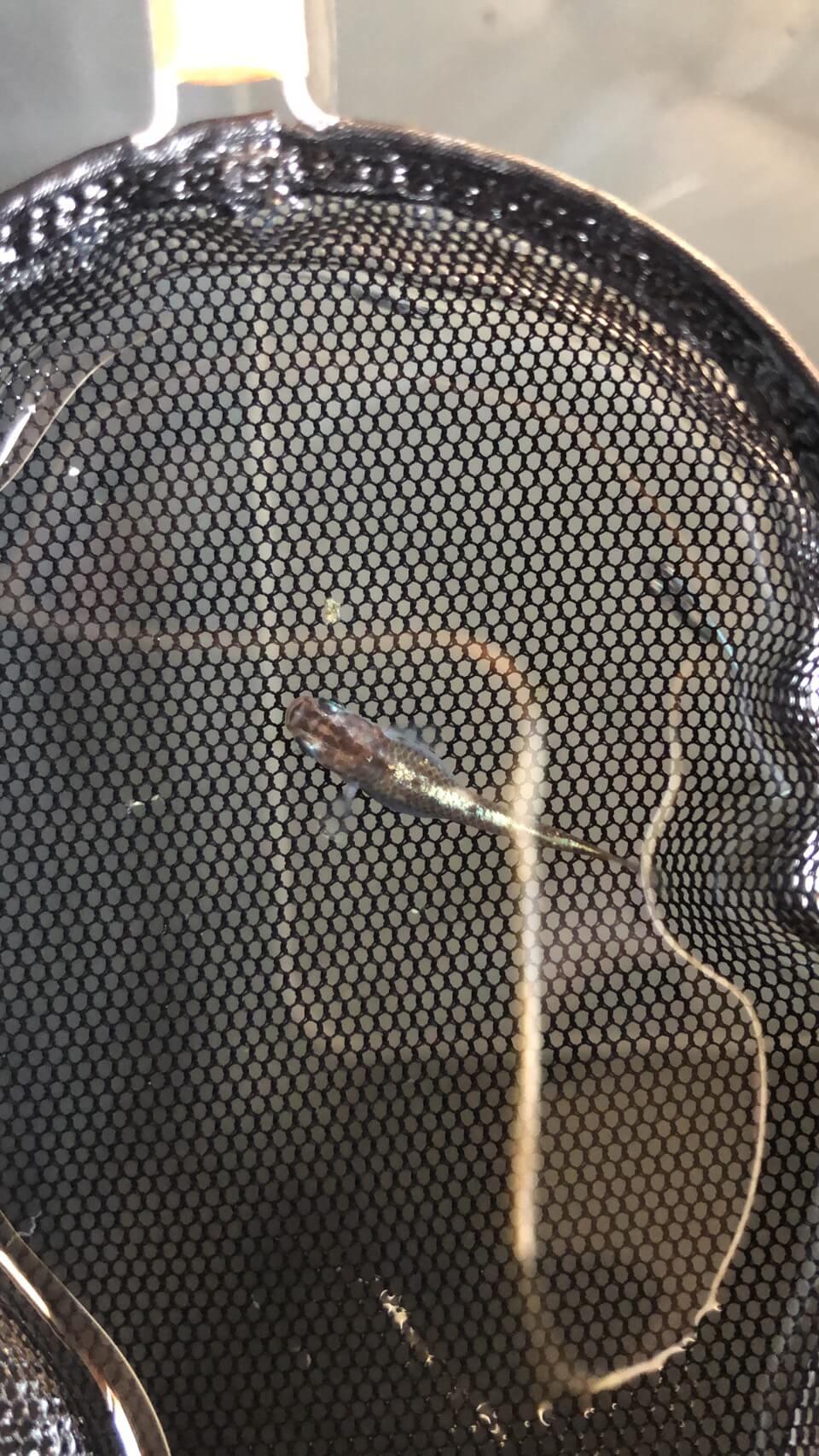 ブロンズを加温して採卵した、メダカ