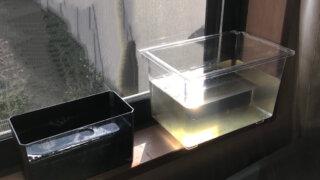 ミジンコの培養の様子