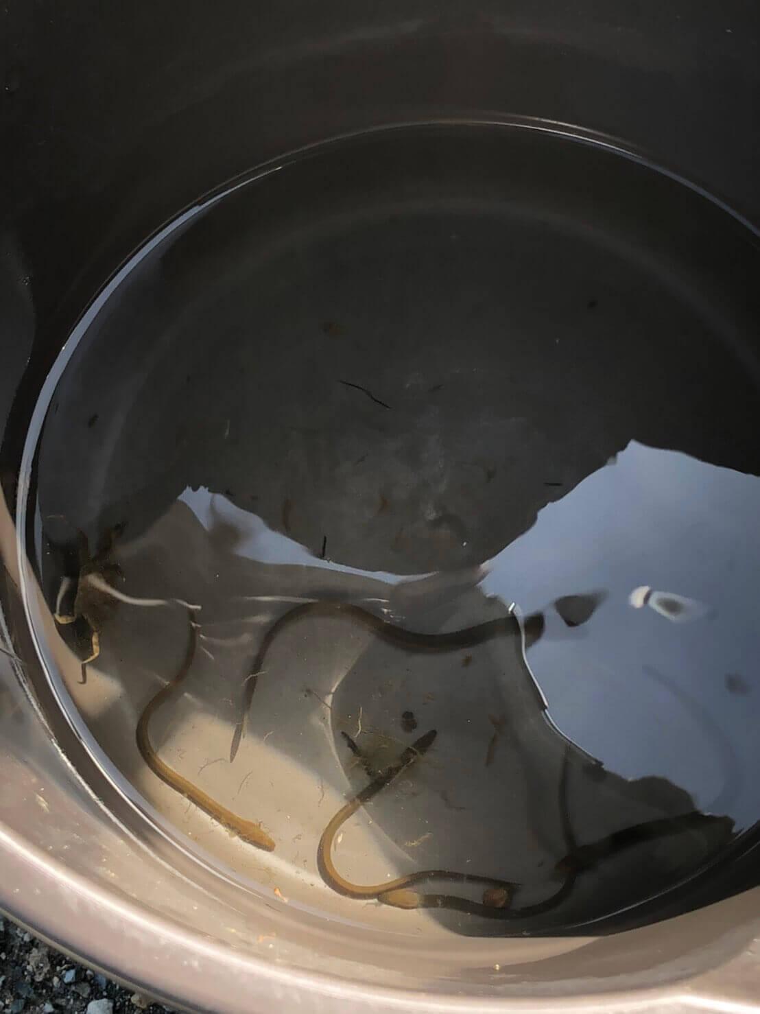 イシガメとウナギのガサガサ